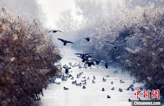 新疆阿拉尔:成群野鸭栖息描绘生态画卷