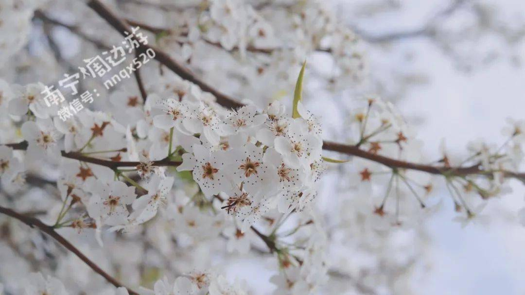 美翻了!广西这梨花开满了山头,如云似雪!还有油菜花!