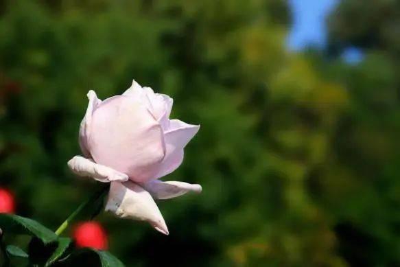 心理测试:哪种颜色的玫瑰花深得你心?测你在哪一个阶段最幸福  第2张