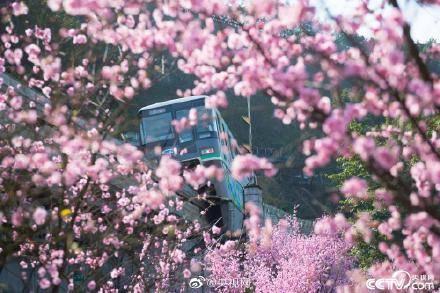 列车穿越花海开启重庆的春天