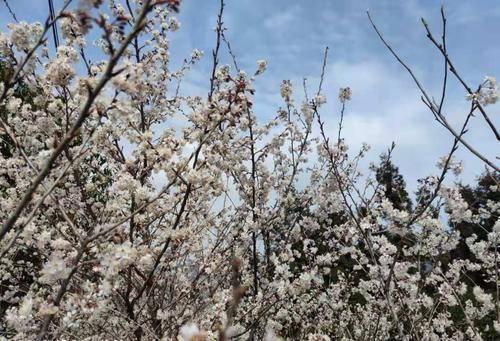 樱花、海棠、油菜花......到这些地方来边品美食边赏花