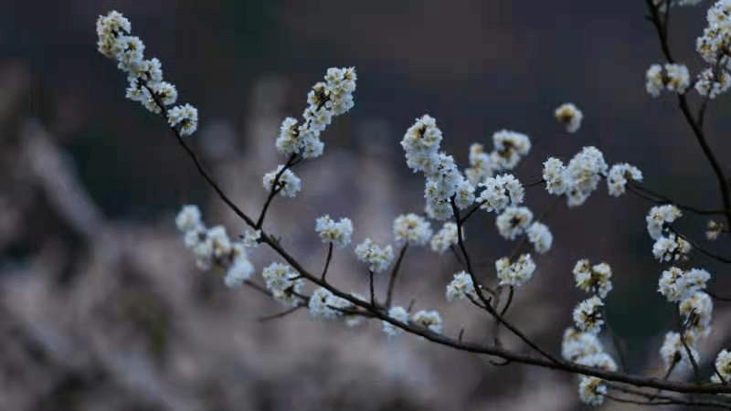 南岳:野樱花竞相绽放,宛如画卷醉游人