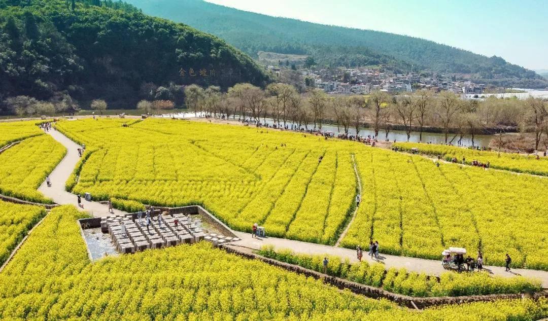 美滇中——螳川大地:金色花海入春来