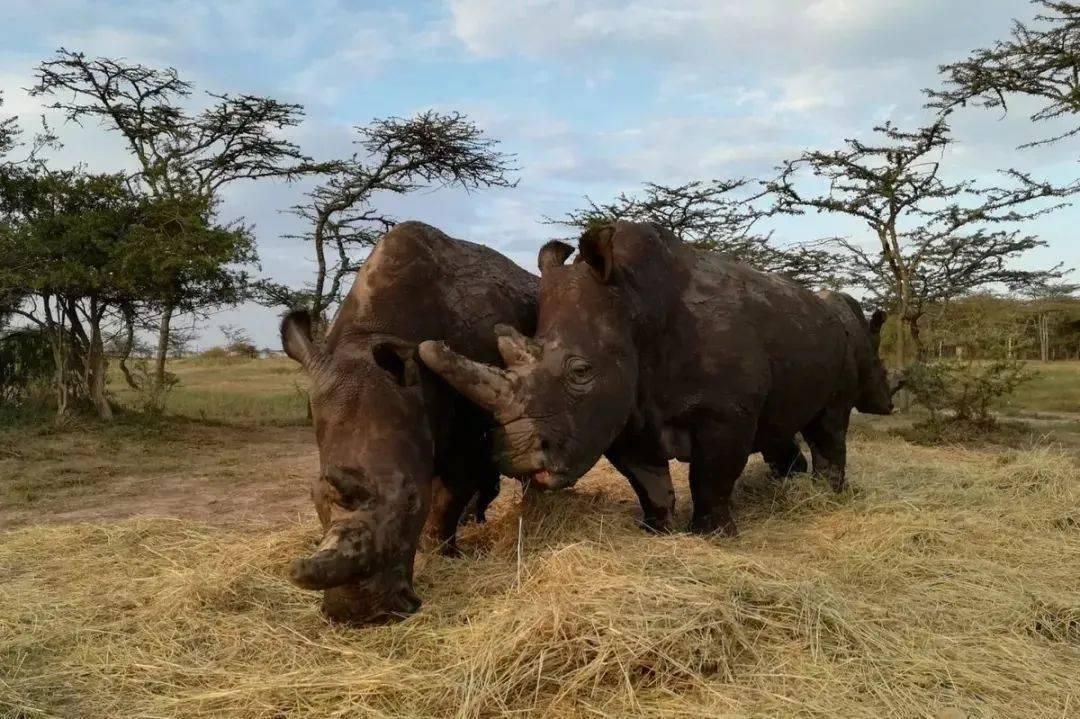 盛图平台地球上仅存的两头北部白犀牛,正在等待奇迹的降临 (图3)
