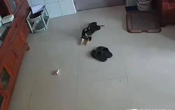 愚人节小黑柴在家上演失踪记,饲主急奔回家找狗……