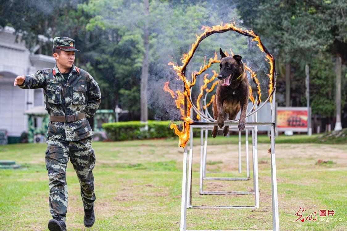 广西南宁:强化训练提升军犬实战能力