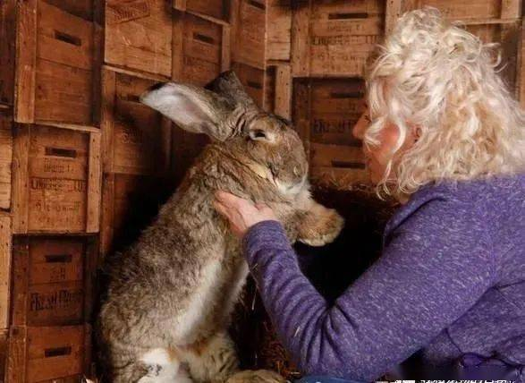 世界第一巨兔在家被偷走,饲主悬赏1000英镑哭求:拜托还回来!
