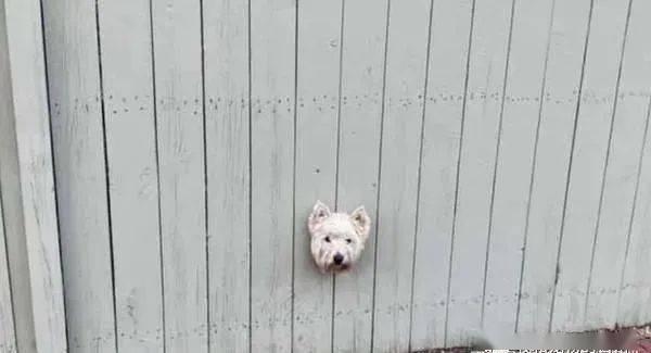 围墙冒出一颗漂浮白狗头吓坏路人,她走近一看笑翻!