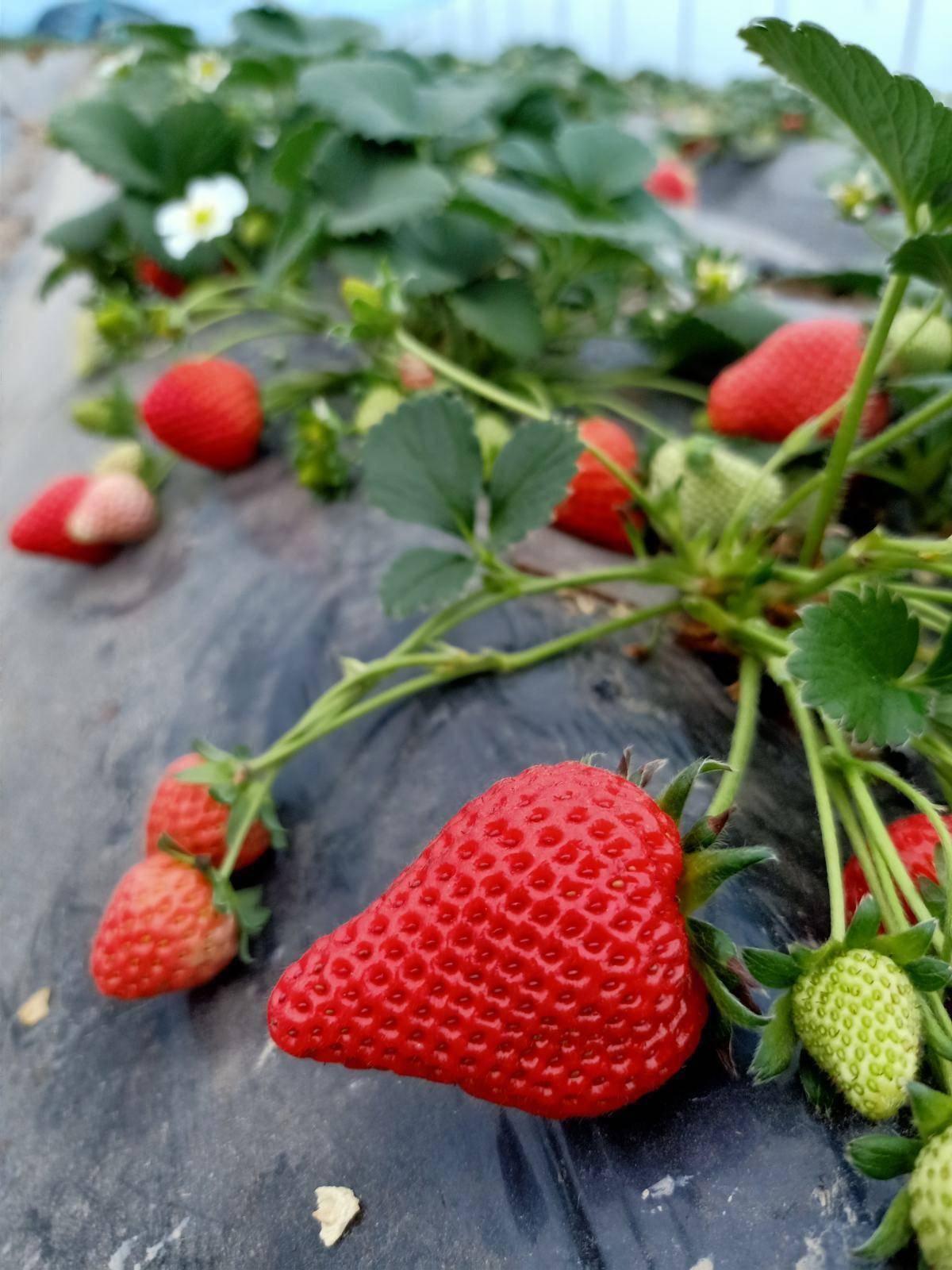 草莓养植技巧,从种子到结果,包你吃上酸甜可口的草莓