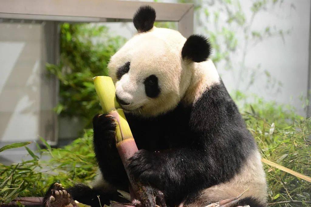 """旅日大熊猫""""真真""""生下双胞胎"""