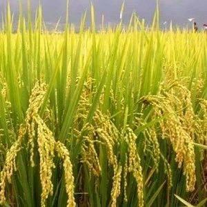 我省新季早稻收购渐入尾声