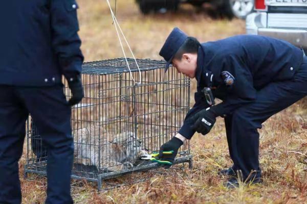 """恒宏首页好凶的""""大猫""""!保护动物猞猁闯民宅,被救护后放归自然 (图2)"""