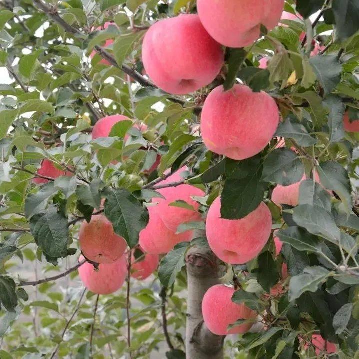 【走进乡村看小康】甘谷:深秋漫山一抹红 苹果撬开致富门